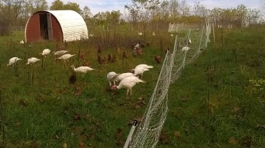 Turkeys and chickens grazing the hillside.